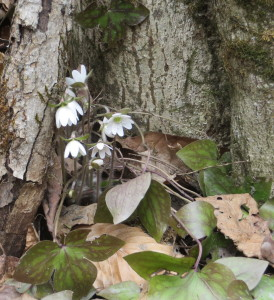 hepatica in the town forest